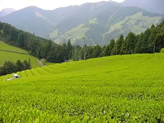 Green tea crop
